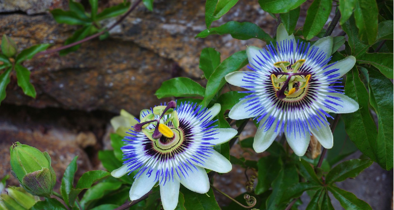 passionflower blossoms