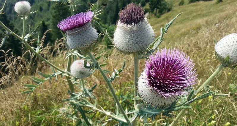 milk thistle plant in field