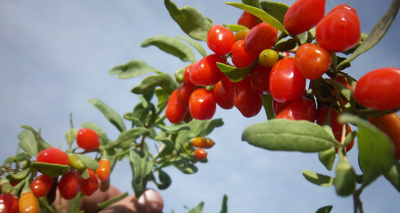 goji berries on a branch