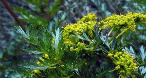 lomatium dissectum leaves and flowers