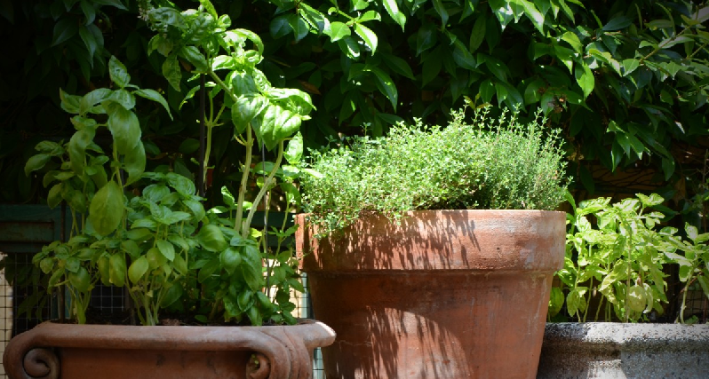 basil and thyme in terracotta