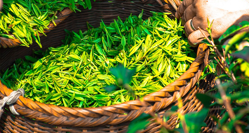 green tea leaves in a basket