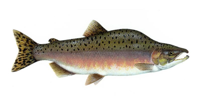 pink salmon sketch