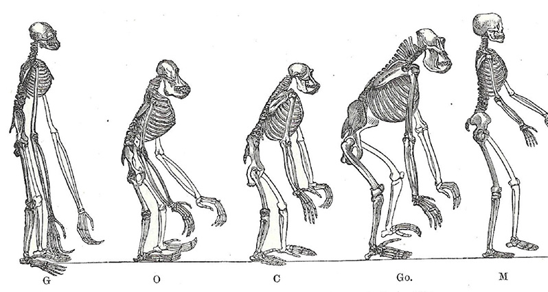 A historical image of skeletons