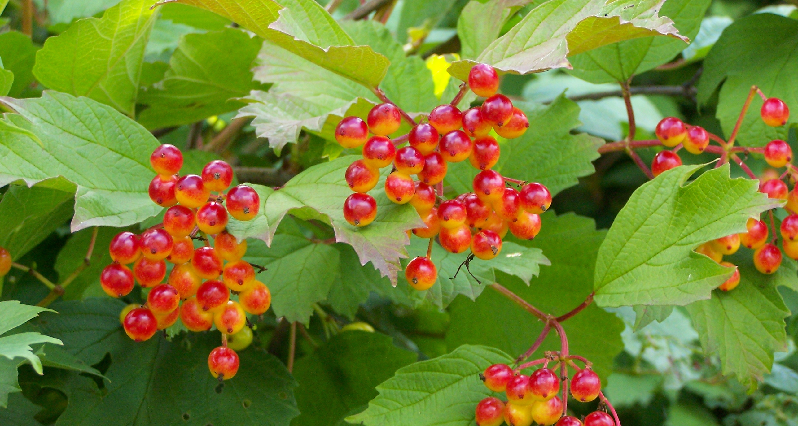 Cramb Bark berries