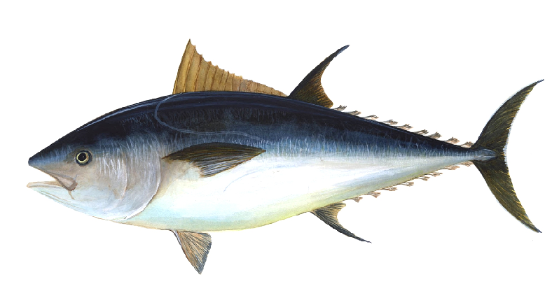 Atlantic blue fin tuna