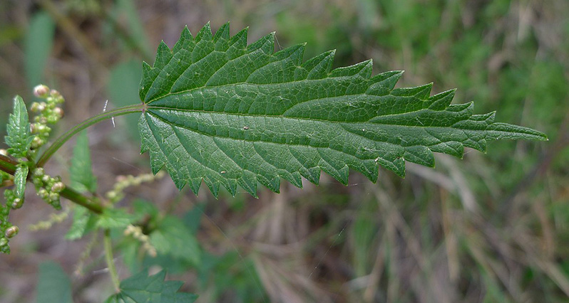 nettle leaf with seeds